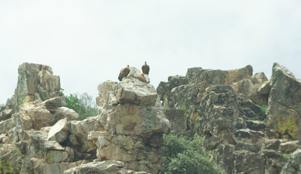 gieren op de rots