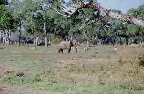 Olifant en Zebras