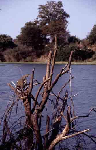 varanen aan de waterkant
