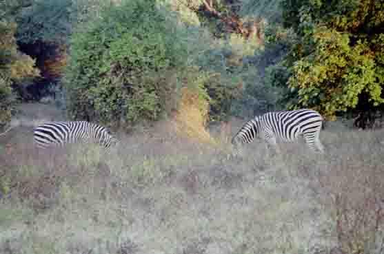 nog meer zebras